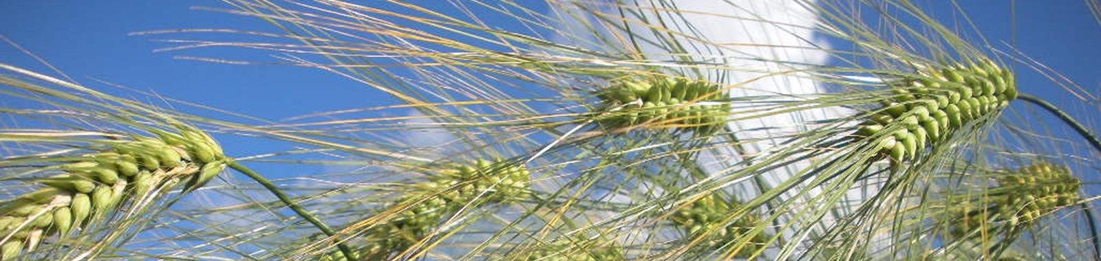 Lannoitus parantaa ohranjyvän kasvua
