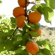 Agronomic Principles for Stone Fruit