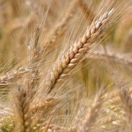 Triticale Crop Program