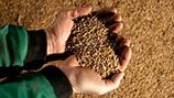 Increasing Wheat Grain Size