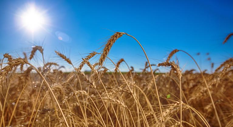 trigo nutrição de plantas