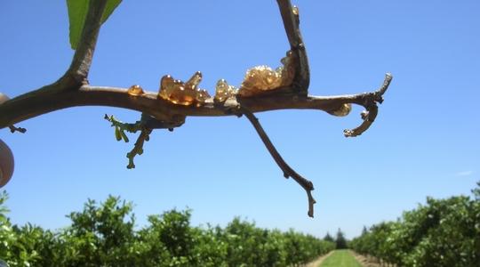 Exsudação de Goma (Gumming) e Nutrição da Planta