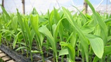 05.2 Maize Plant Growth and Crop Nutrition PROMO PICTURE
