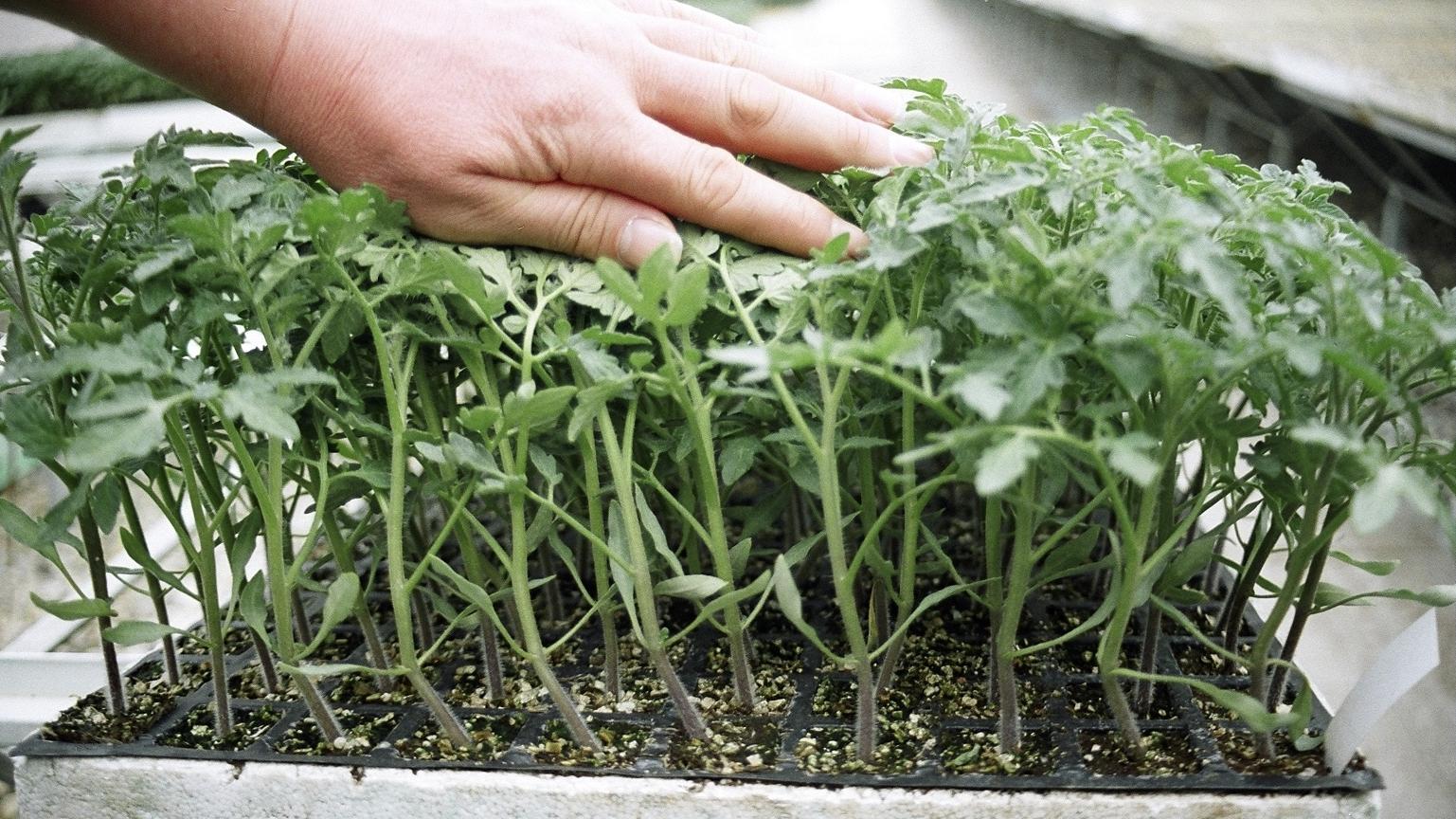 Resumen nutricional del tomate