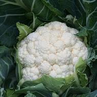Cauliflower Crop Nutrition Programme