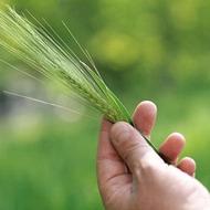 Do cover crops supply enough nitrogen?
