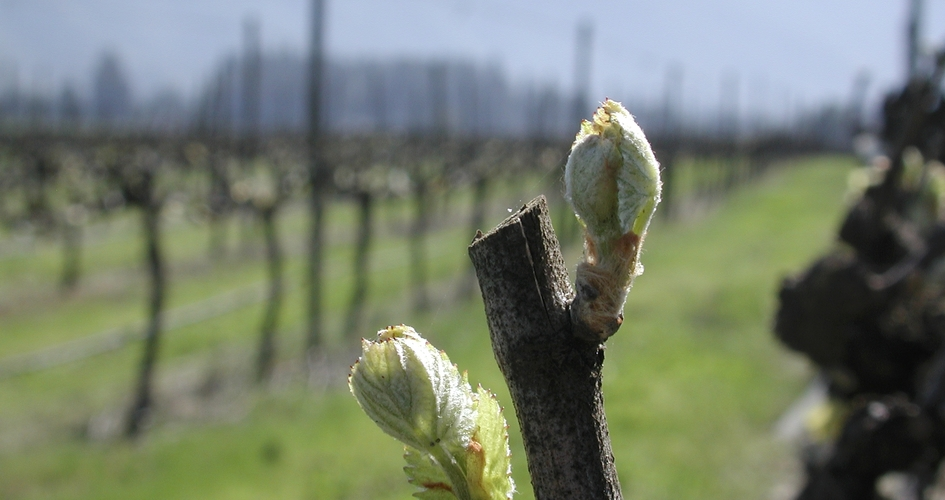 wine grape bud
