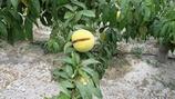 Preventing Stone Fruit Cracking or Splitting