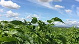 Huella de carbono reducida en papas