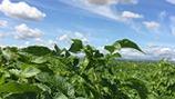 Reduced Potato Carbon Footprint