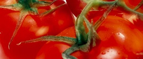 Close up tomato - used Yara fertilizer