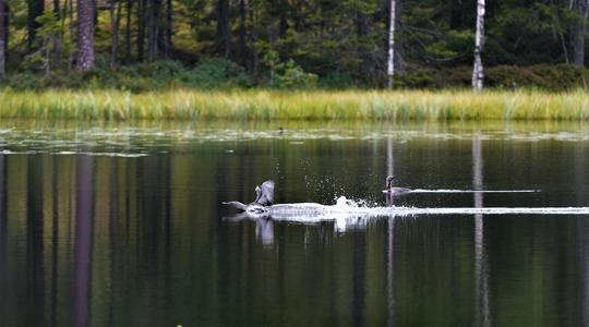 Fågel som landar i sjö