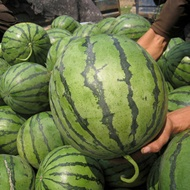 Improving Melon Shelf Life