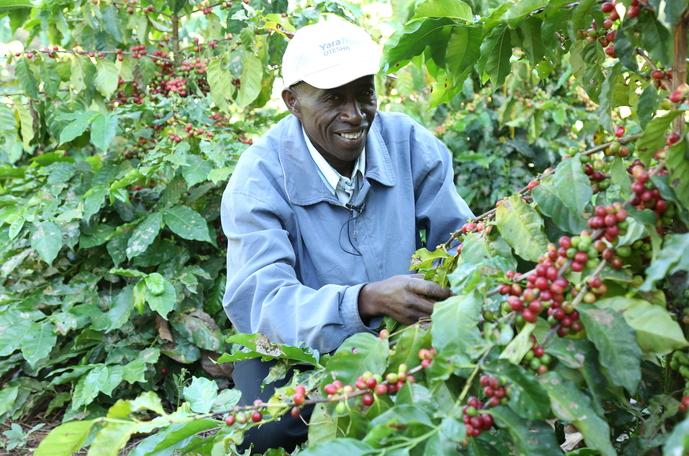 How to increase coffee yield