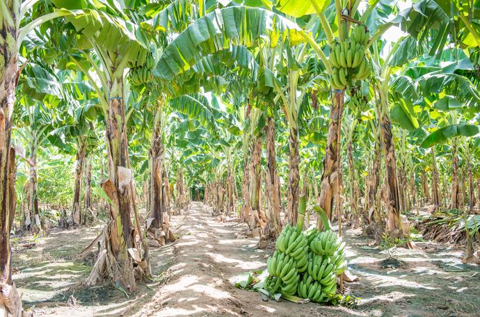 Sanidade da banana