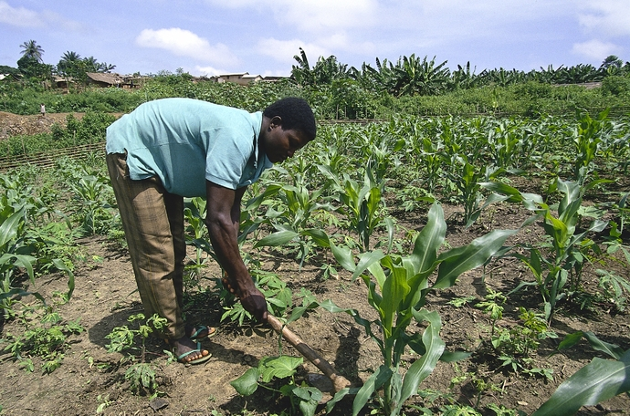 How to increase your maize yield