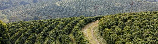 coffee field in Brazil