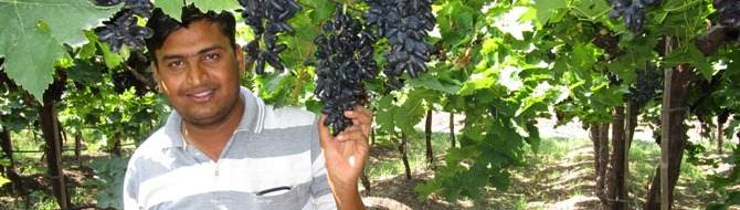 Sustainable boost to Indian grape production with Yara products