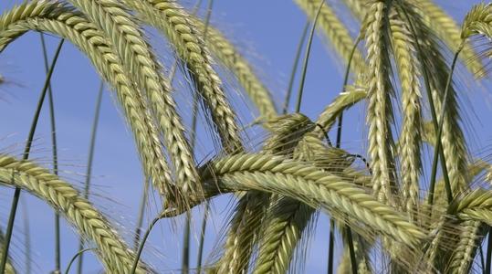 Rye crop nutrition programmes