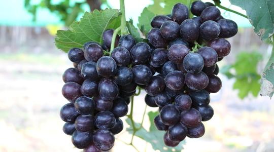 鲜食葡萄品质的影响因素