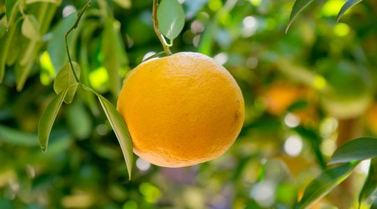 如何增加柑橘果重