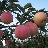 Удобрення яблуні