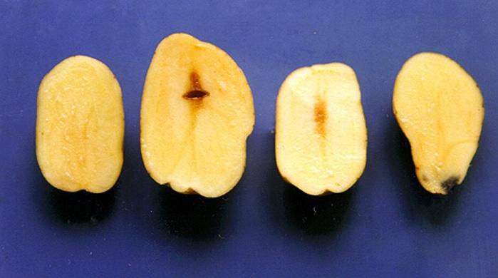 Potato Tuber Internal Browning