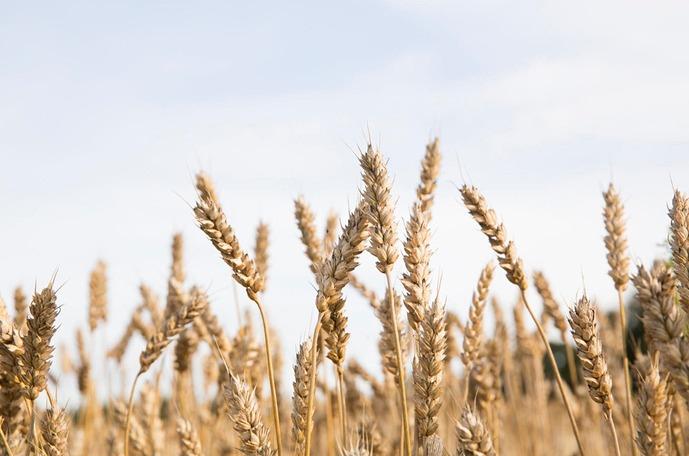 Vehnän lannoitusohjelmat