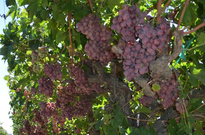 葡萄营养概述