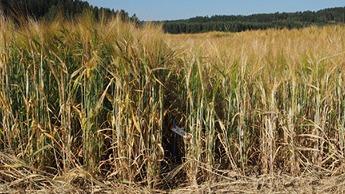 Fosfori ravinteen merkitys kasveille