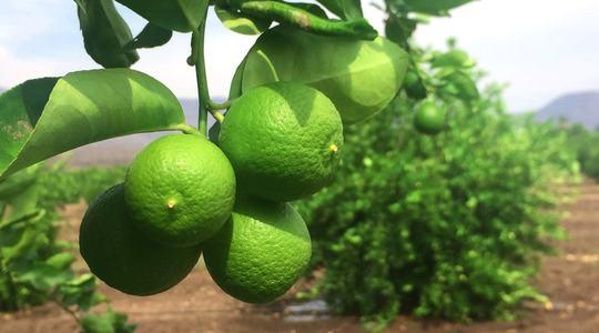 如何增加柑橘果实大小
