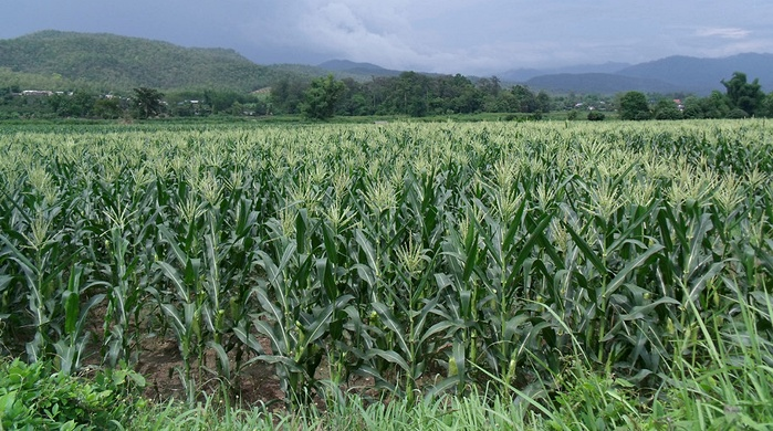 08 Maize Quality Full Width Banner