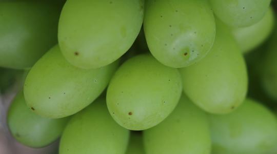 鲜食葡萄大小和形状的影响因素