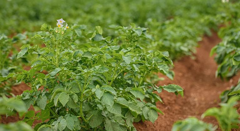 batata nutrição de plantas