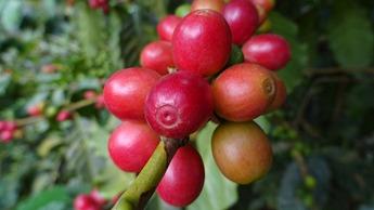Café maduro