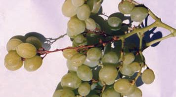 如何预防鲜食葡萄的穗梗坏死