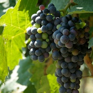 Influencing Total Acidity (TA) in Wine Grape
