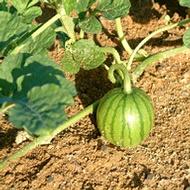 Melon Fertilizer Program