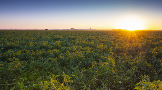 Crop Nutrition and Tomato Production | Yara United States