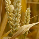 Maintaining Wheat Health