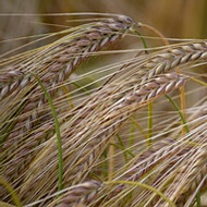 Improving Thousand Grain Weight in Barley