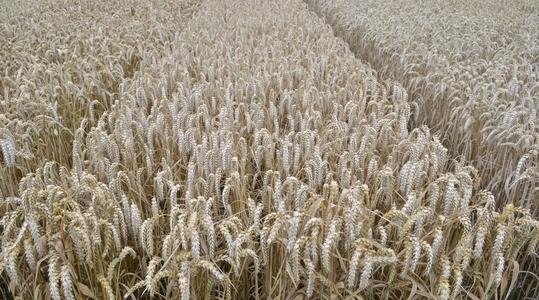 Forbedring af kvaliteten i hvede