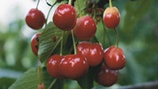 Managing Pitting in Stone Fruit (Cherries)