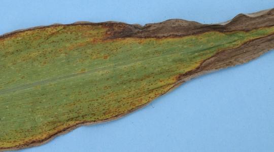 potassium deficiency in corn leaf