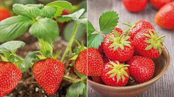 YaraLiva Calcinit Strawberries