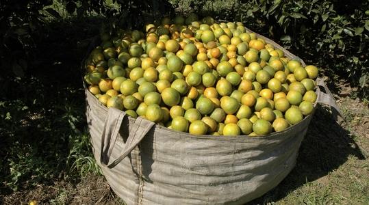 磷在柑橘类果树生产上的作用