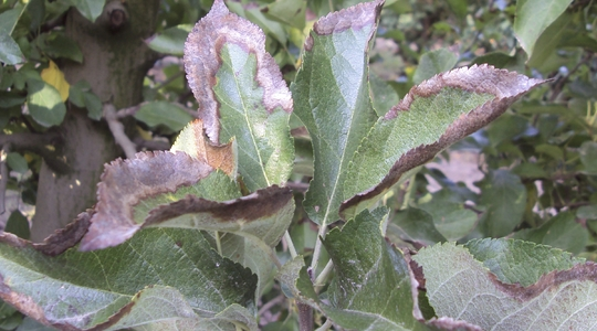 potassium deficiency in apple