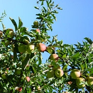 Reducing Carbon Footprint in Pome Fruit Production