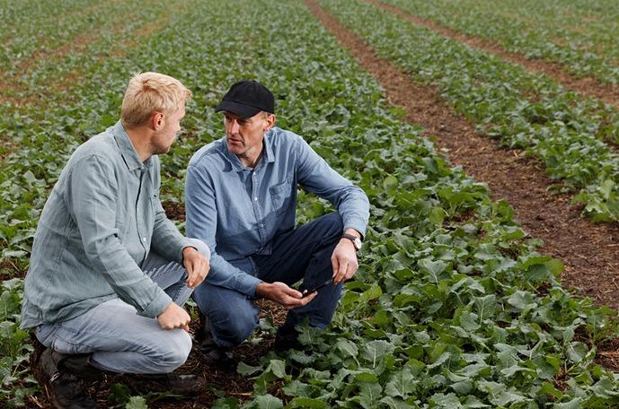 Zwiększanie plonu nasion rzepaku