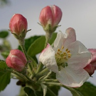 Avoiding Pome Fruit Sunscald/Sunburn